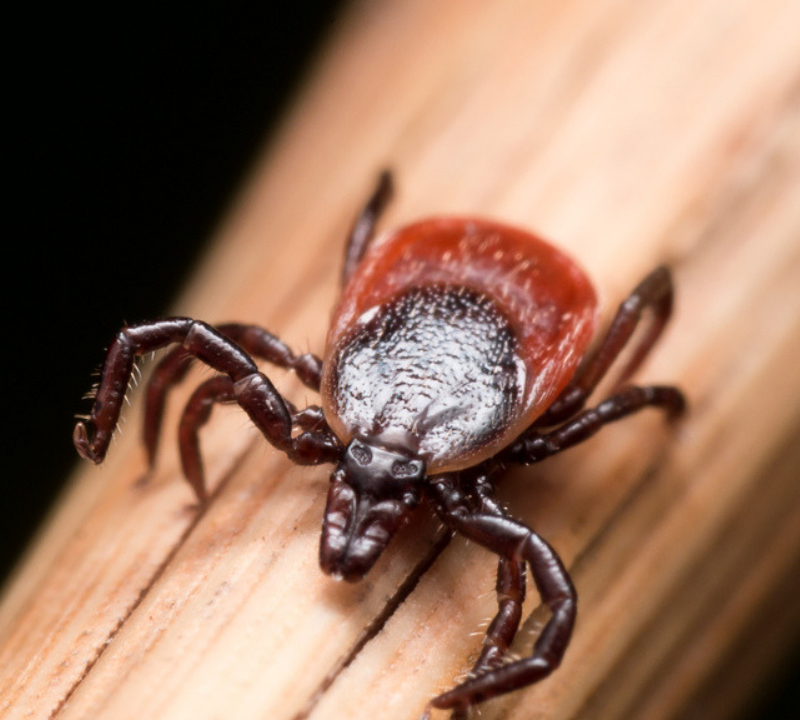 fall tick prevention deer tick spreads Lyme disease