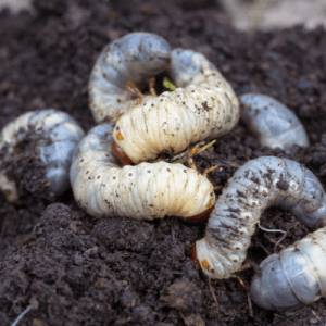 Grubs overwinter deep under your sod, only to resurface in the spring to wreak havoc on your lawn. Grub control is a necessity for spring lawn care in Bedford, NH.