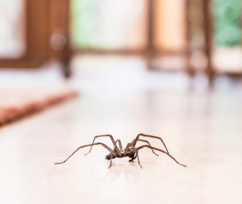 Spiders like this are just one of the many overwintering in your home and lawn in Bedford, NH.