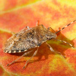 Brown marmorated stink bugs are relatively new pests to the area. They destroy crops and overwinter in large numbers in homes all across New Hampshire.