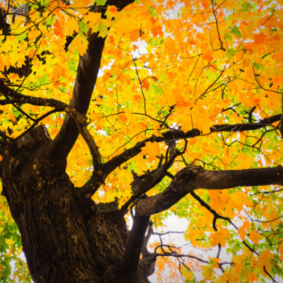 Sugar maple trees are the best trees to get maple syrup from.