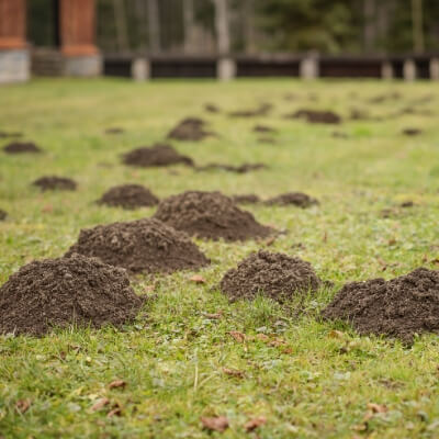 Molehills and mole tunnels are just some of the damage caused by moles in Nashua, NH.