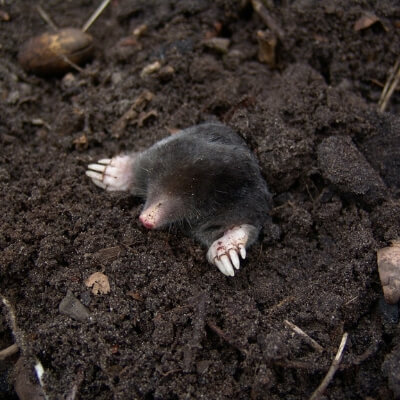 Moles can cause extensive damage to your lawn in Bedford, NH.