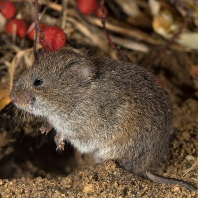 Voles can cause extensive damage to your Bedford, NH lawn.