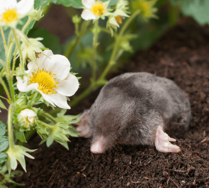 Moles may look cute and cuddly but mole damage and vole damage are not to be taken lightly!