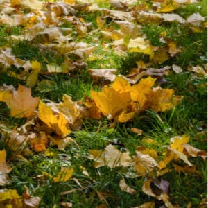 Appropriate leaf cover is when you can still see the grass between the leaves, this will not interfere with fall lawn fertilization here in Bedford, NH.
