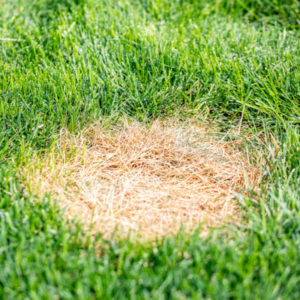 Dollar spot is one of the common spring lawn diseases affecting New Hampshire lawns.