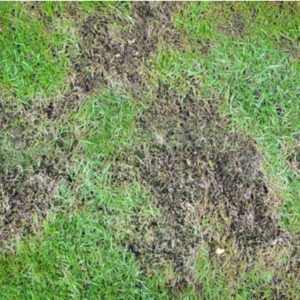 brown patch on lawn from fungus